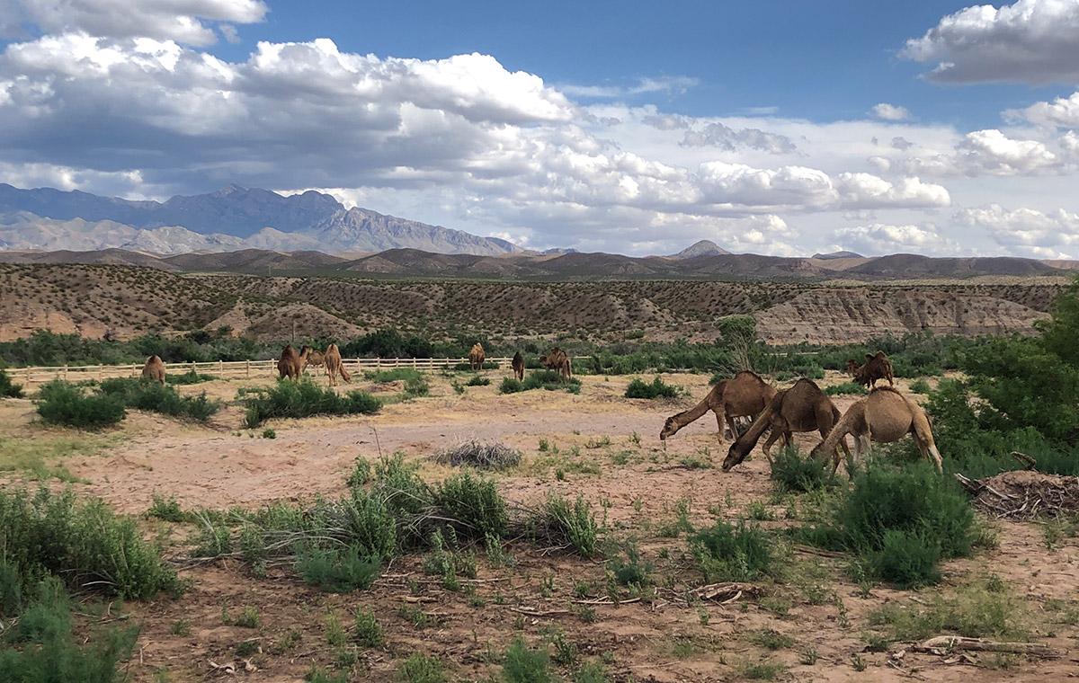 Location Spotlight: Camel Safari